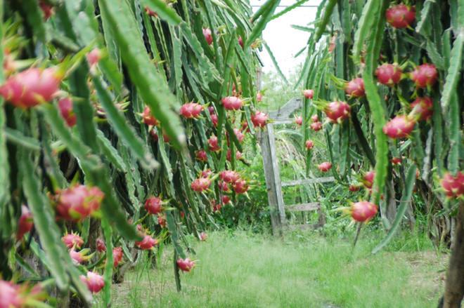 Thanh long Bình Thuận đang chín đỏ vườn, nhiều gia đình cho hay vụ mùa này họ mất trắng.