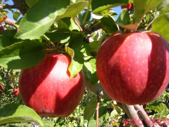 4 công dụng của quả táo có thể bạn chưa biết - Ảnh 1