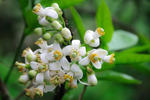 Thuốc từ hoa vườn nhà - Ảnh 3