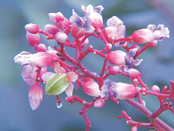 Thuốc từ hoa vườn nhà - Ảnh 6