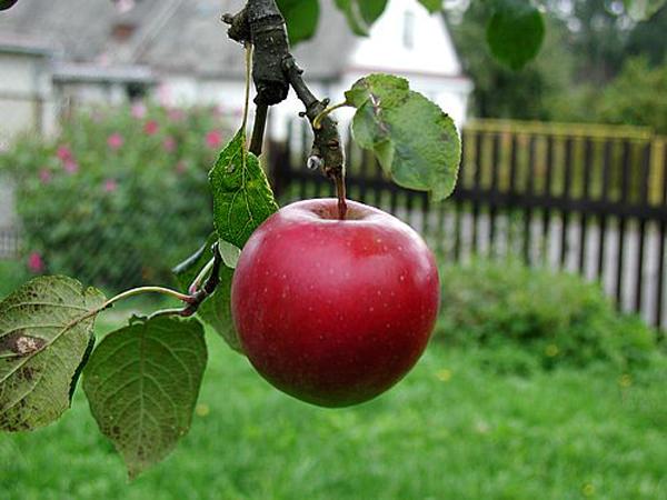 Cách chọn táo ngon và sạch vô cùng đơn giản - Ảnh 1
