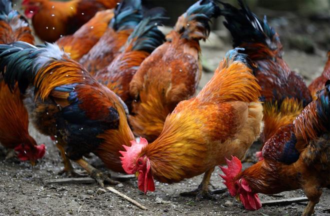 Dù là gà sống hay gà đã làm thịt, chọn thế này là trăm con ngon như một - Ảnh 1