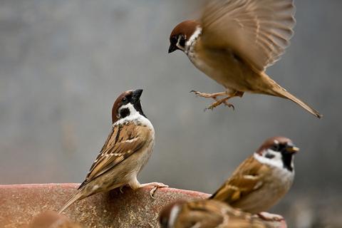 Món ăn - bài thuốc từ chim sẻ - Ảnh 1