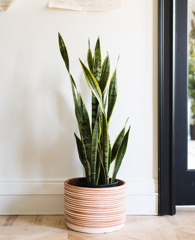 Trồng ngay 5 loại cây này trong nhà, vừa hút khí độc vừa làm đẹp không gian - Ảnh 2