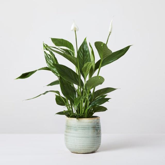 Trồng ngay 5 loại cây này trong nhà, vừa hút khí độc vừa làm đẹp không gian - Ảnh 4