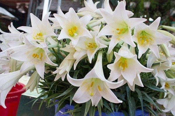 Những loại hoa rất dễ gây dị tật thai nhi, khi mang thai có thích mấy mẹ cũng không được chưng trong nhà - Ảnh 2