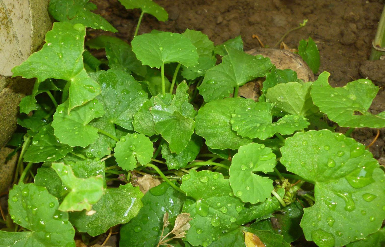 Công dụng của rau má đối với sức khỏe thì có thể ít người biết đến - Ảnh 1
