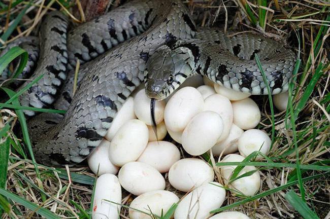 """Phát hoảng với trứng rắn luộc: Thứ đặc sản nghe """"kinh dị"""" lại ngon đến ngỡ ngàng - Ảnh 1"""