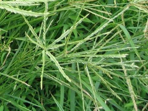 Bất ngờ với tác dụng của loài cỏ mọc dại ở Việt Nam - Ảnh 1