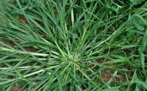 Bất ngờ với tác dụng của loài cỏ mọc dại ở Việt Nam - Ảnh 2