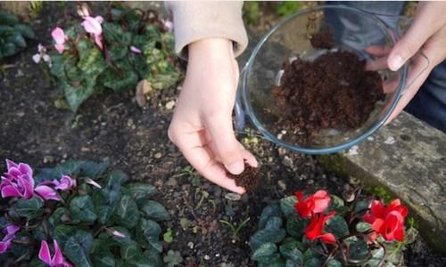 Hãy giữ bã cà phê và rải đều lên đất với độ dày khoảng 1cm, bạn sẽ thấy lợi ích