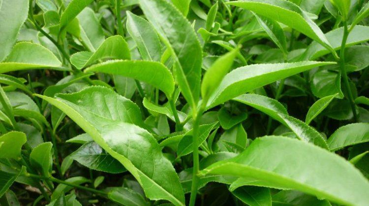 Lá trà xanh giúp da đẹp mịn màng cực nhanh - Ảnh 1