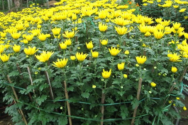 Hoa cúc dễ chăm và dễ căn thời gian hoa nở