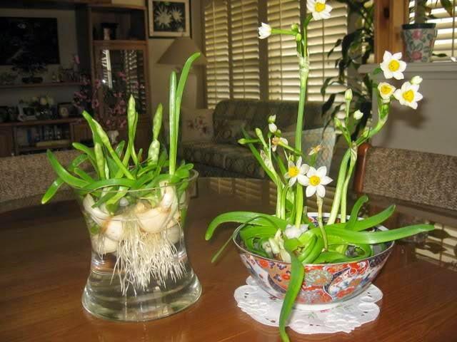 Trồng hoa thủy tiên đúng lúc để kịp nở hoa ngày Tết