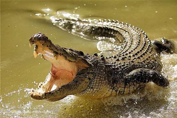 Người Ai Cập tin rằng phân cá sấu trộn với mật ong sẽ có khả năng ngừa thai