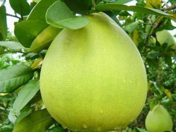 Bưởi Năm Roi có nguồn gốc ở miền Tây Nam Bộ, được trồng nhiều nhất ở Vĩnh Long, có dáng như quả lê