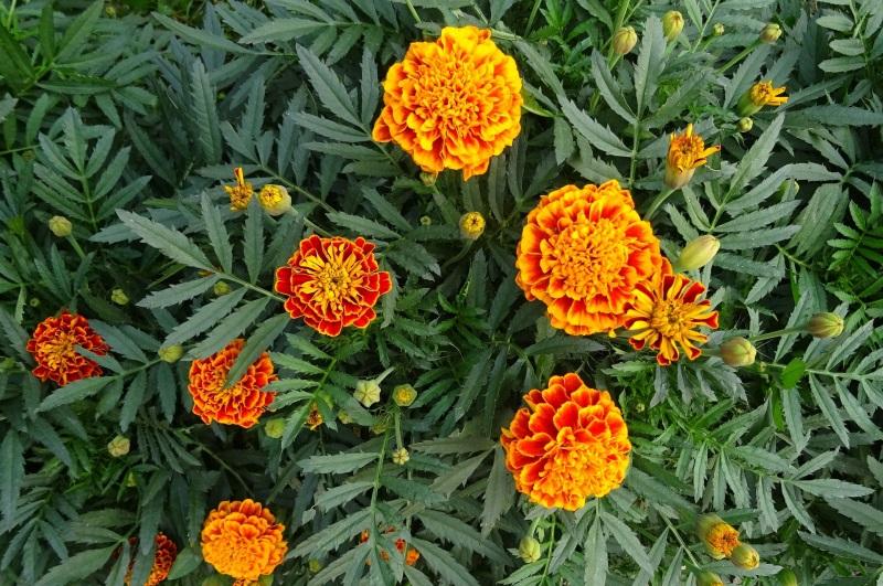 Trồng hoa vạn thọ ngày tết.