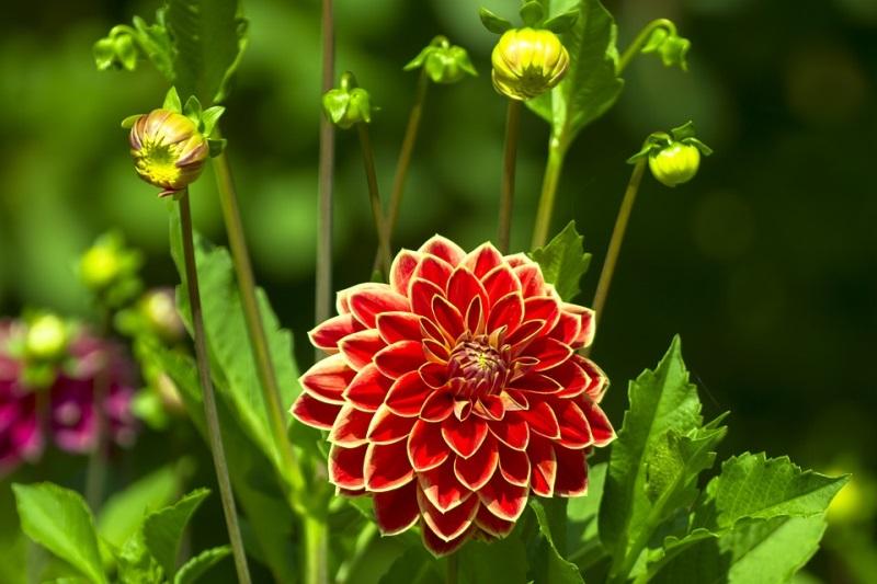 Cách trồng hoa thược dược