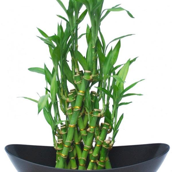 Lưu ý khi trồng cây phất dụ trong nhà cho đúng phong thủy