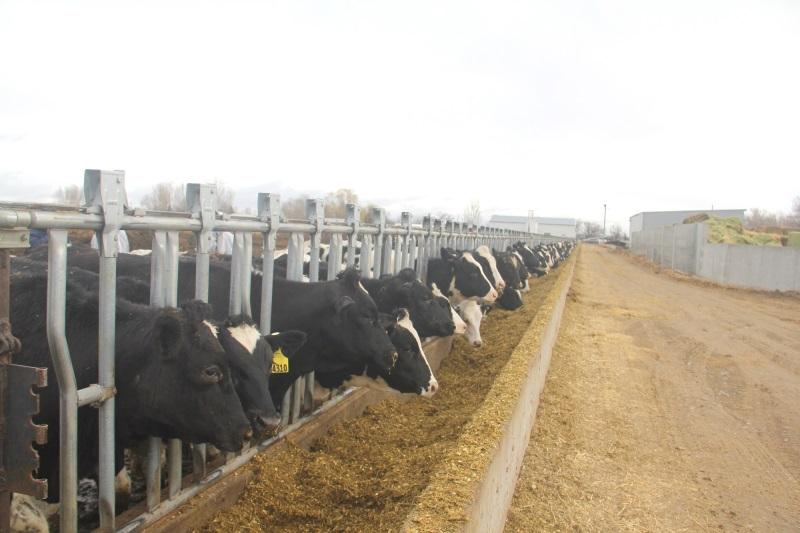 Vinamilk nhập hơn 2.000 con bò sữa cao sản từ Mỹ, tiếp tục khẳng định vị thế dẫn đầu ngành hàng sữa - Ảnh 2