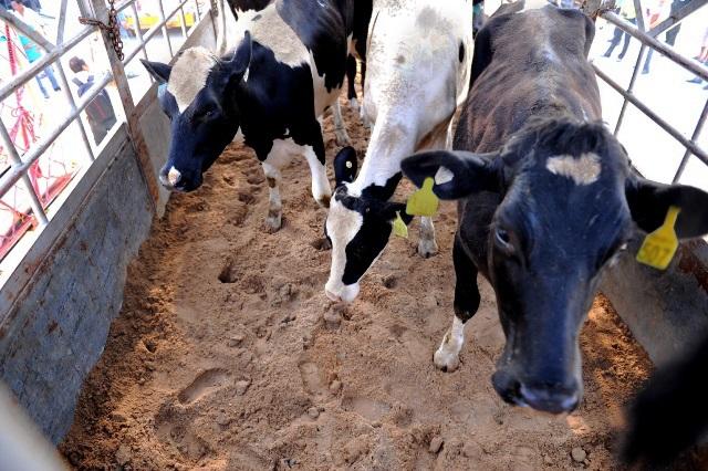 Vinamilk nhập hơn 2.000 con bò sữa cao sản từ Mỹ, tiếp tục khẳng định vị thế dẫn đầu ngành hàng sữa - Ảnh 6